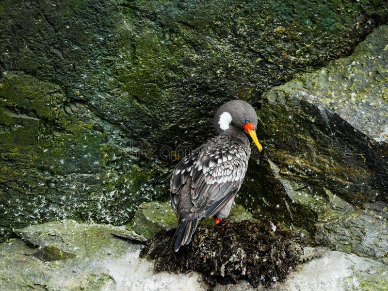 Fågeln för det Chile kusthavet på vaggar royaltyfri foto