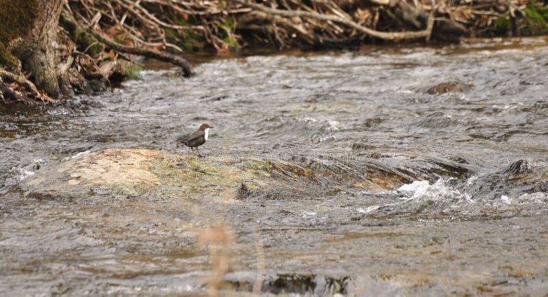 Fågeln i det flod- vaggar royaltyfri fotografi