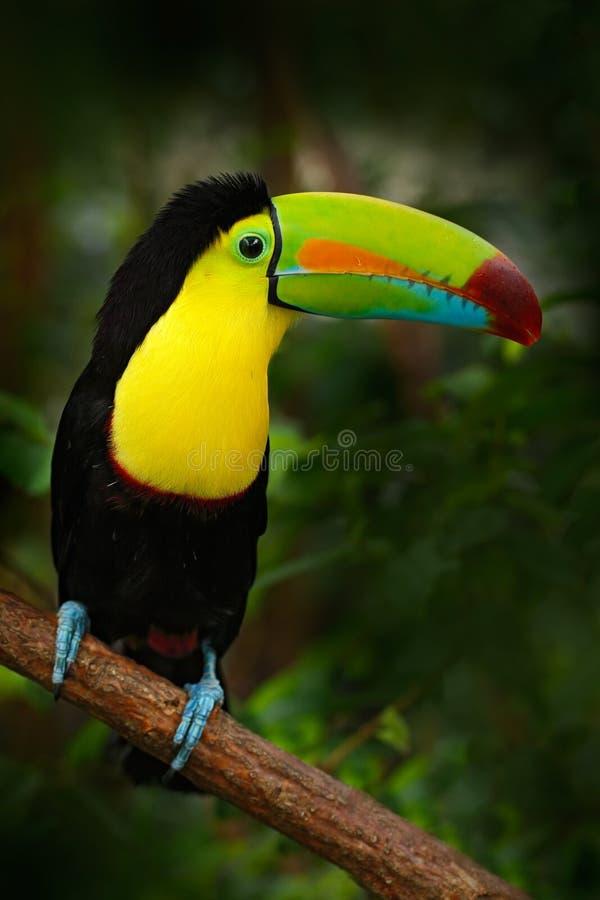 Fågeln med den stora räkningen Köl-fakturerade tukan, den Ramphastos sulfuratusen som sitter på filialen i skogen, Mexico royaltyfria bilder