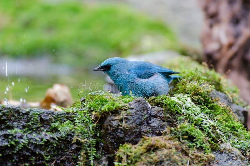 Fågeln namngav den Verditer flugsnapparen i natur royaltyfria bilder