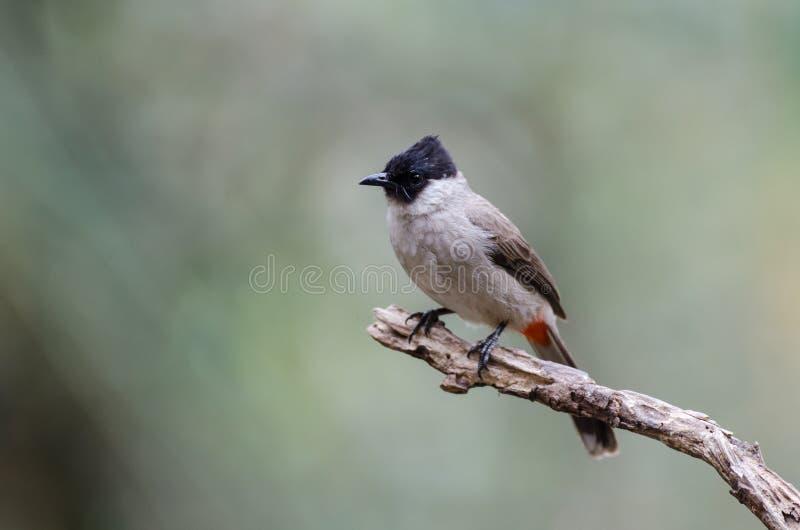 Fågeln namngav Sotig-hövdad Bulbul i natur arkivfoto