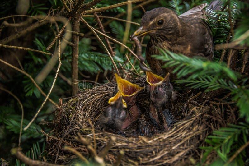 Fågeln och fågelungarna arkivfoto