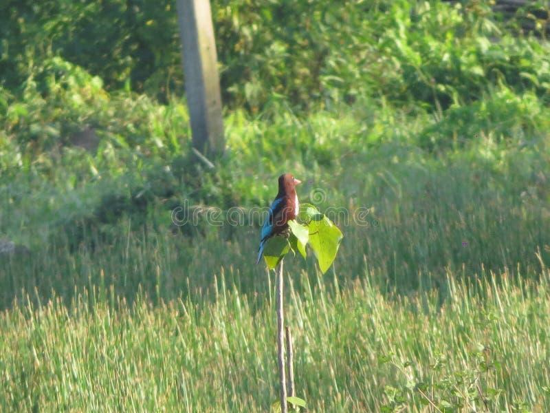 Fågeln på risfältfelid arkivfoton