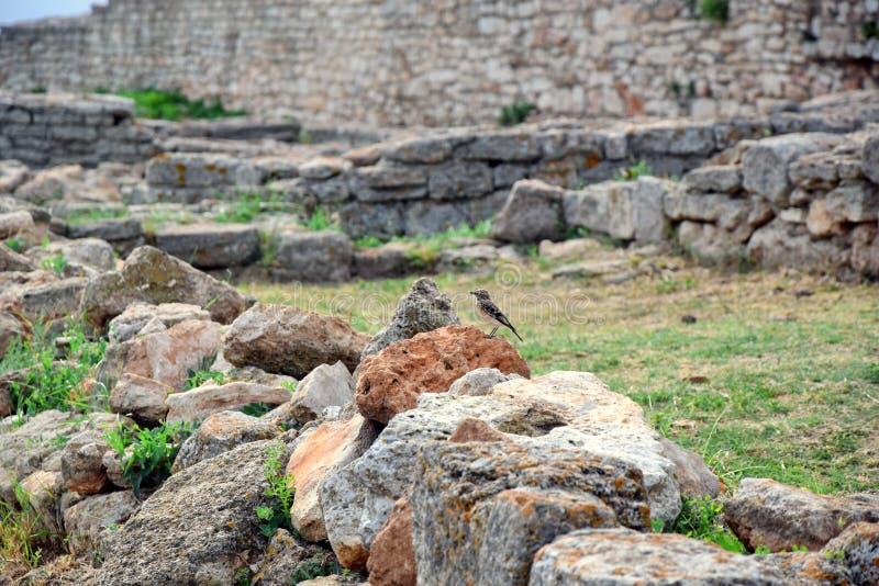 Fågeln på Rock and Remains i Cape Kaliakra Bulgarien royaltyfria foton
