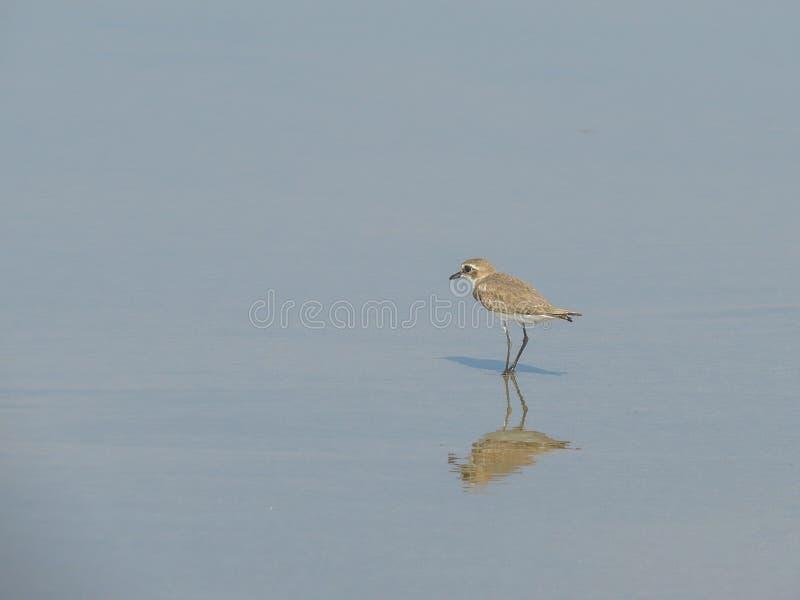 Fågeln står i vattnet på stranden av Morjim i nordliga Goa india arkivbilder