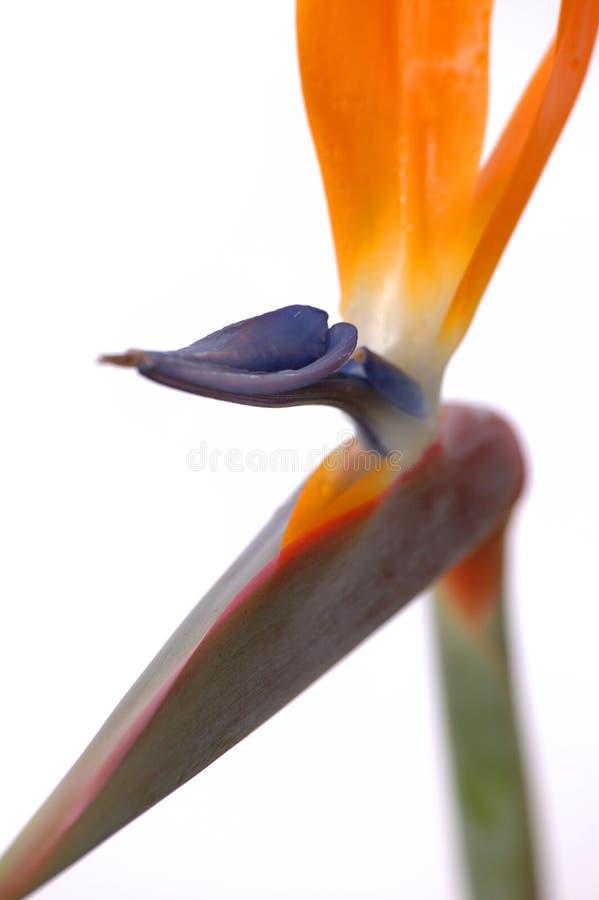 fågelparadis fotografering för bildbyråer