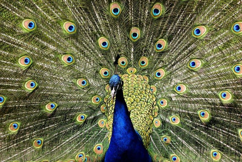 fågelparadispåfågel royaltyfria bilder