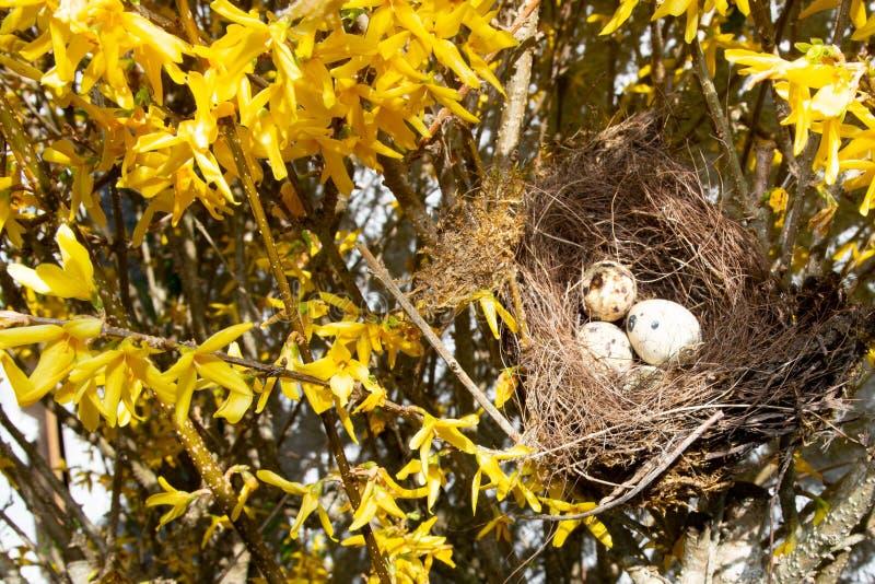 Fågelrede med tre ägg i gula trädsidor royaltyfri fotografi