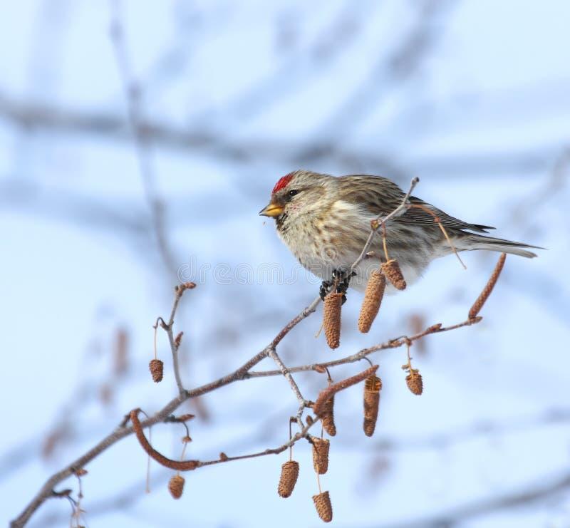 fågelredpoll royaltyfri foto