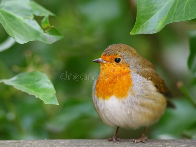 fågelrobin arkivbilder