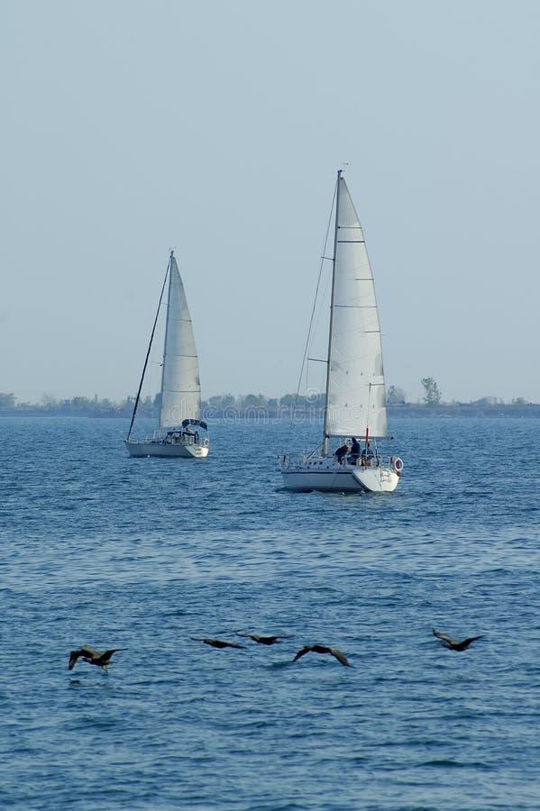 fågelsegelbåtar två arkivfoton