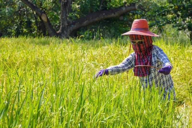 Fågelskrämma på risfält på Thailand fotografering för bildbyråer