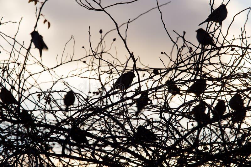 Fågelsparvar på ett träd på soluppgångsolen fotografering för bildbyråer