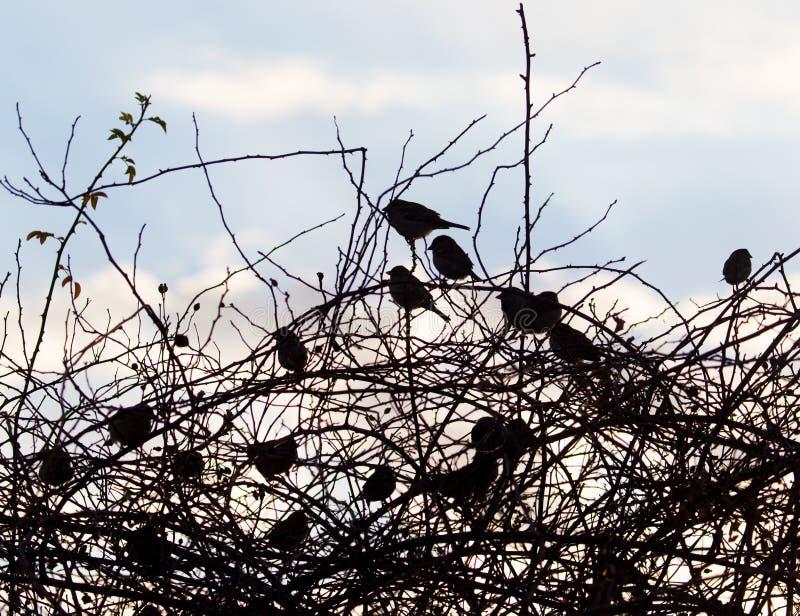 Fågelsparvar på ett träd på soluppgångsolen royaltyfria foton