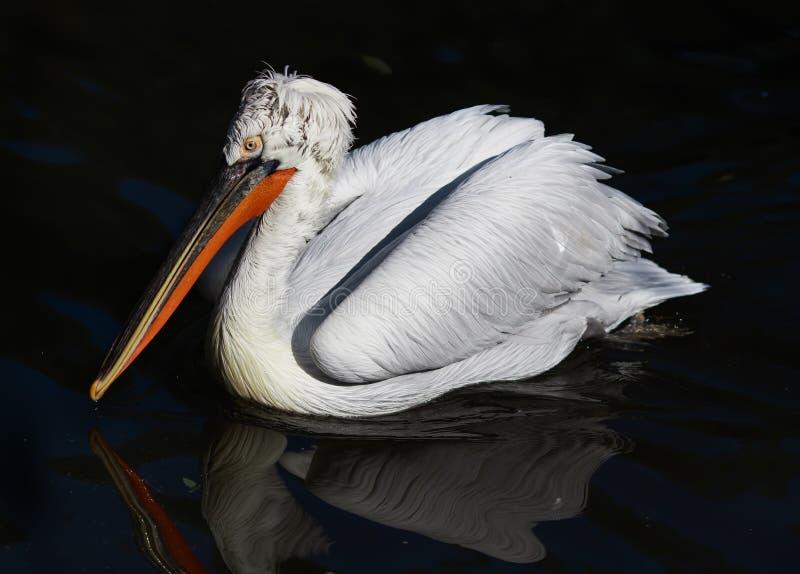 Fågelståenden av en Dalmatian pelikan simmar majestically i Det fotografering för bildbyråer