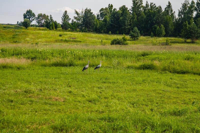 Fågelstork på en grön äng arkivbilder