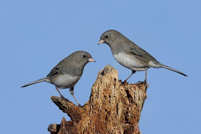fågelstubbe två royaltyfria bilder