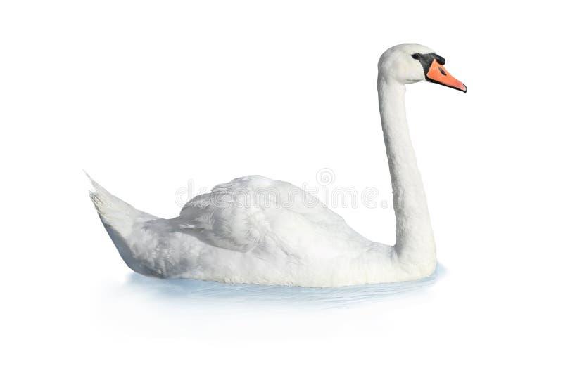 Fågelsvan royaltyfri bild