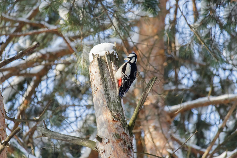 Fågeltreecreeper royaltyfria bilder