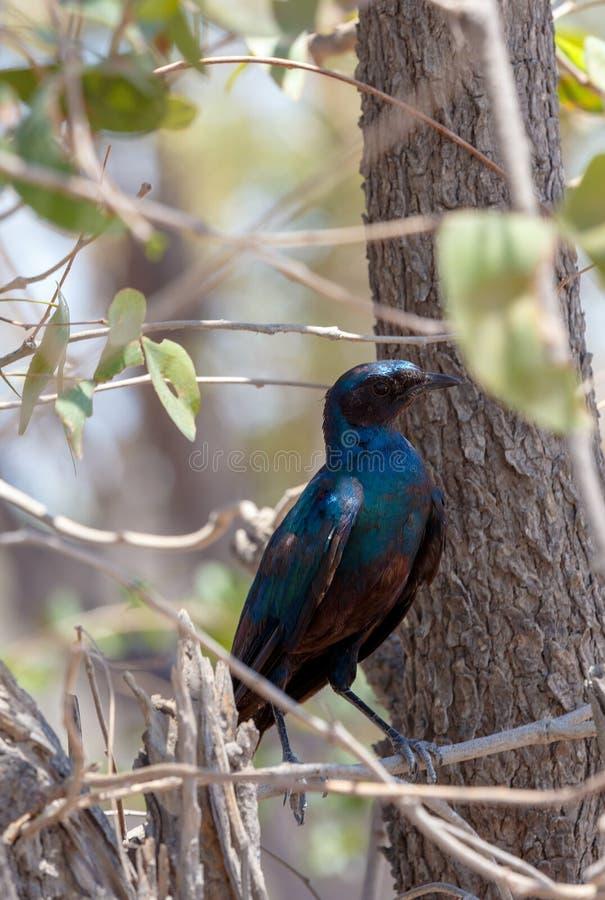 Fågeluddestare, Okavango, Botswana Afrika arkivbild
