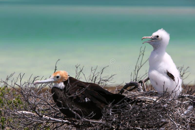 Fågelungar för fregattfågel arkivbilder