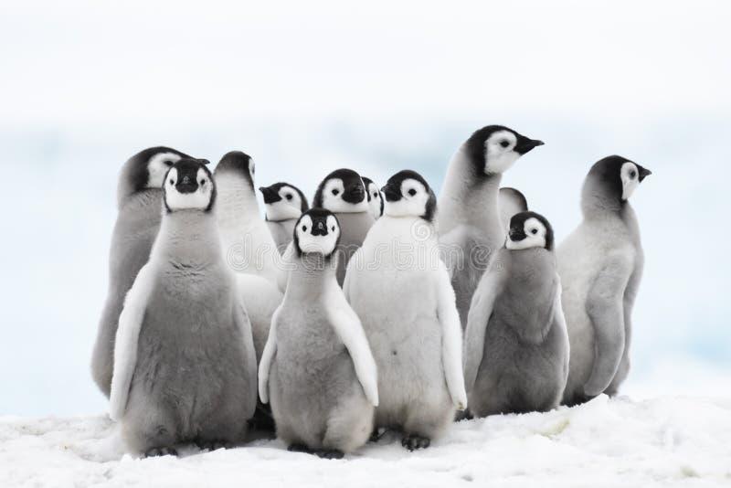 Fågelungar för kejsarepingvin på isen royaltyfria foton