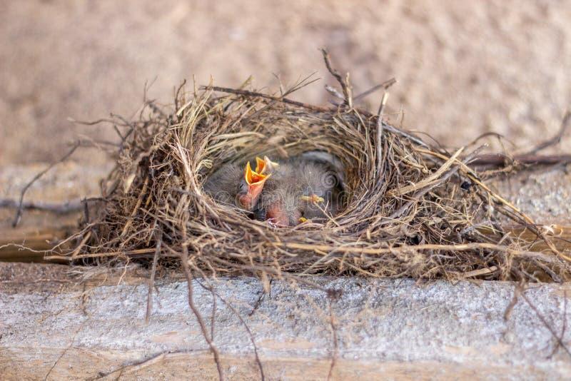 Fågelungar i redet som frågar för mat _ djurliv royaltyfri foto