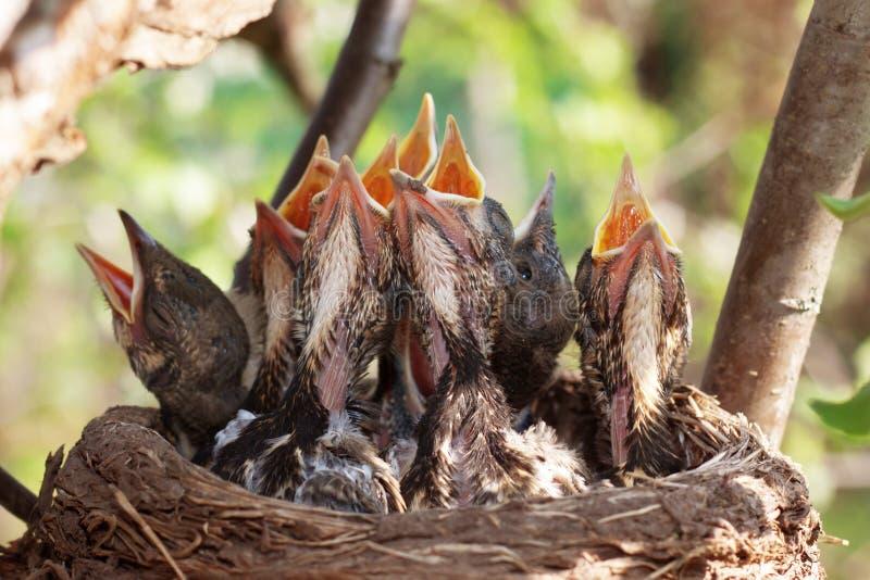 Fågelungarna i redet arkivbild
