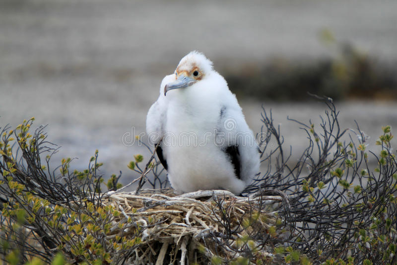 Fågelunge för fregattfågel arkivbilder