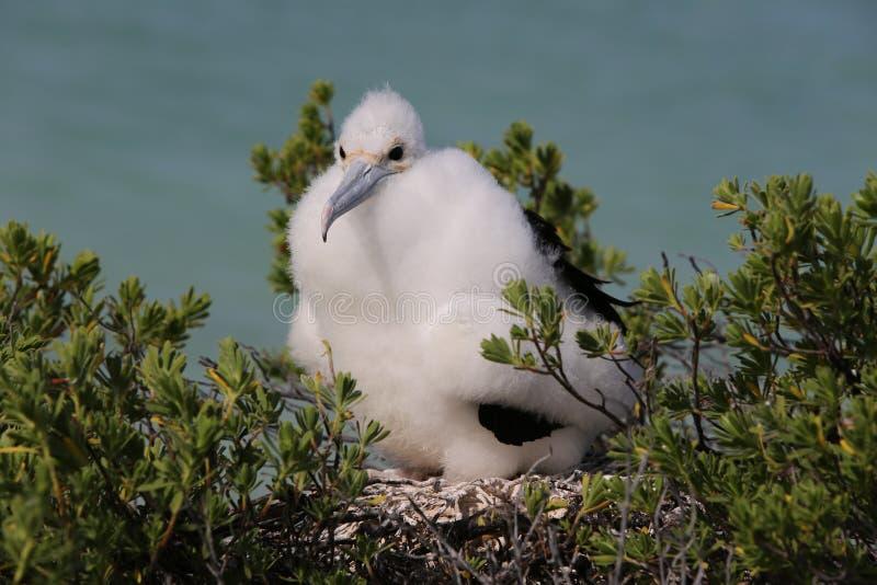 Fågelunge för fregattfågel royaltyfri fotografi