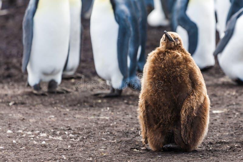Fågelunge för konungpingvin som bara sitter royaltyfria bilder