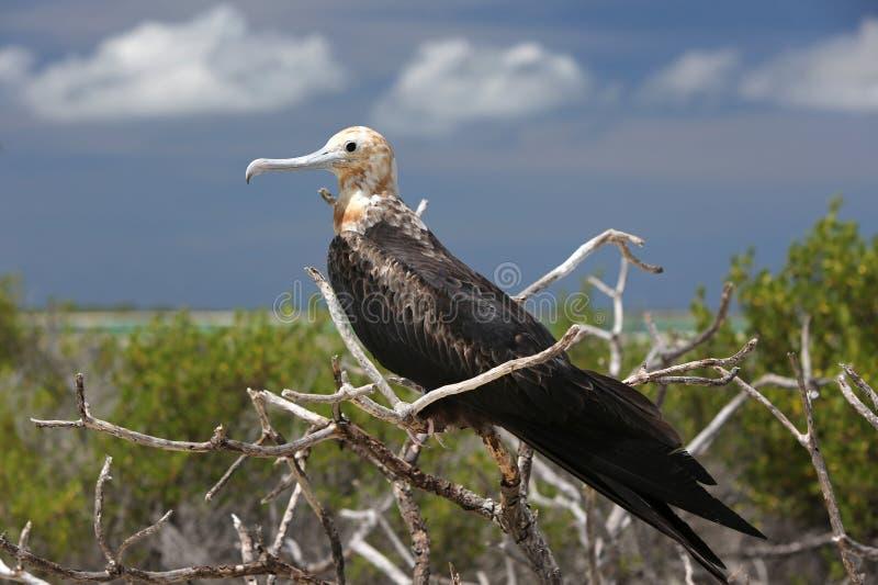 Fågelunge för tonåring för fregattfågel royaltyfria bilder