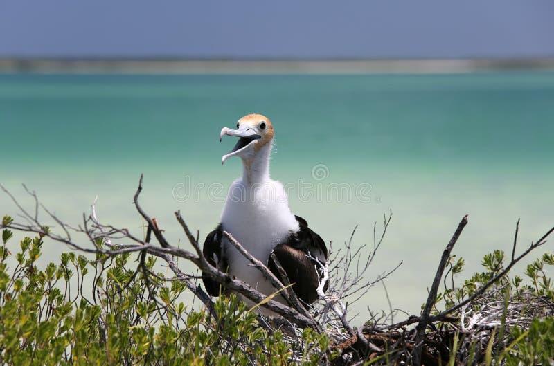 Fågelunge för tonåring för fregattfågel arkivbilder
