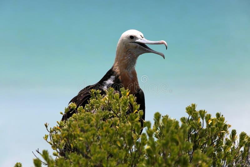 Fågelunge för tonåring för fregattfågel arkivfoton