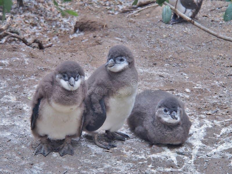 Fågelunge för tre afrikansk pingvin på jordningen fotografering för bildbyråer