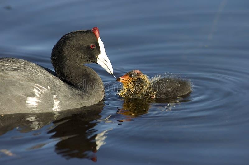 fågelungecoot som matar knobbed red arkivfoton