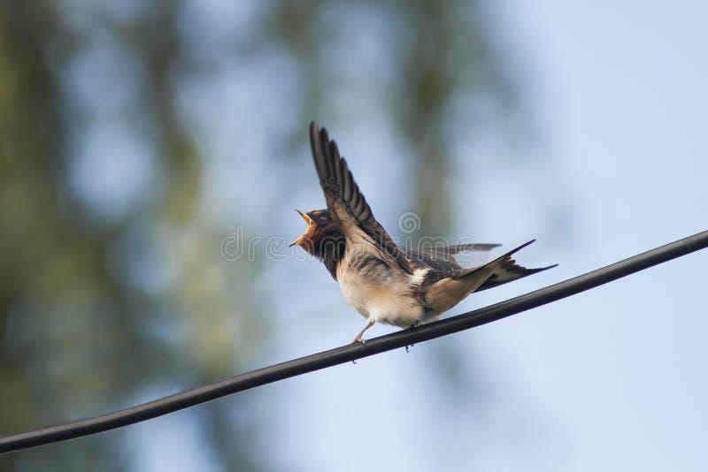 Fågelungen sväljer sammanträde på väntande på föräldrar för en tråd arkivbild