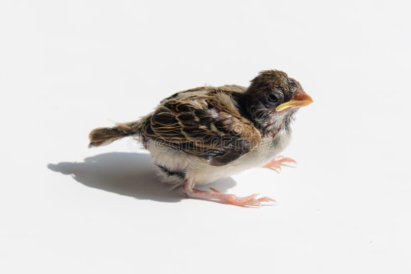 Fågelungesparv i solen royaltyfria foton