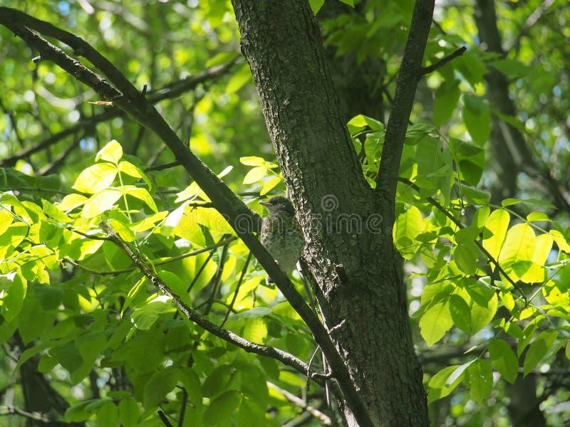 Fågelungetrast som sitter på en trädfilial och väntande på föräldrar arkivfoton