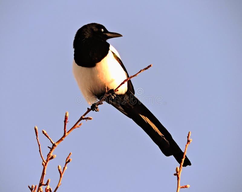Fågelversion av en morgonhärlighet royaltyfria foton