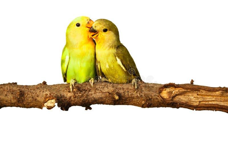 Fåglar älskar på isolerat arkivbild