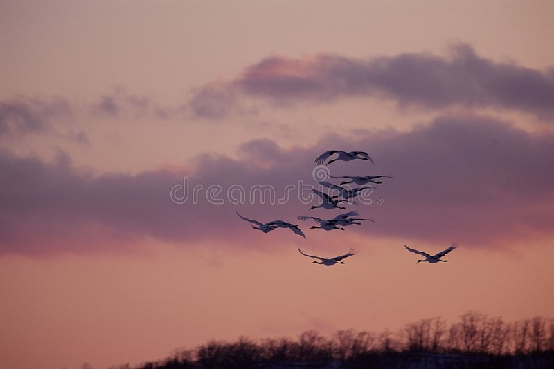 Download Fåglar arkivfoto. Bild av oklarhet, atlantiska, gryning - 276658