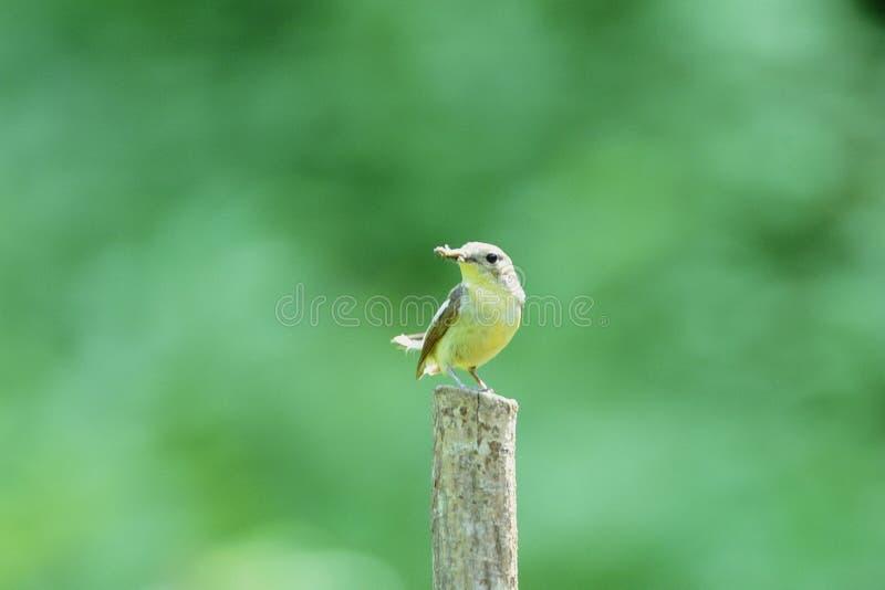 Download Fåglar arkivfoto. Bild av fjäder, vinge, fält, fluga, öga - 279776