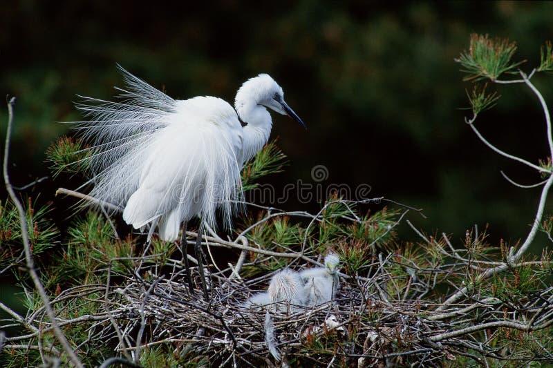 Download Fåglar arkivfoto. Bild av natur, egret, vinge, ibis, gräs - 279844