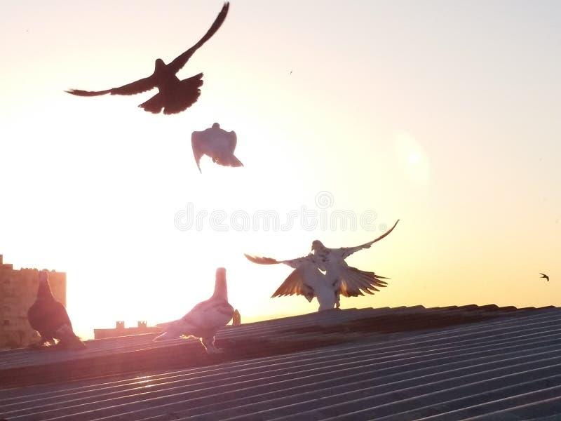 Fåglar av Homs Syrien royaltyfri fotografi