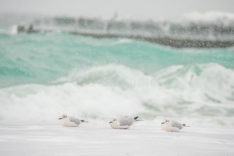 Fåglar av seagullen på kusterna av det rasa havet arkivfoton