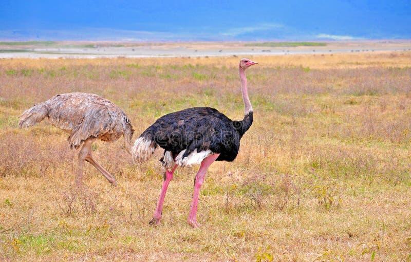 Fåglar av Tanzania arkivbild