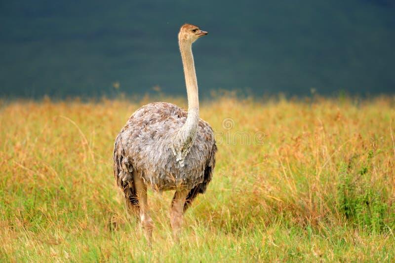 Fåglar av Tanzania royaltyfri bild
