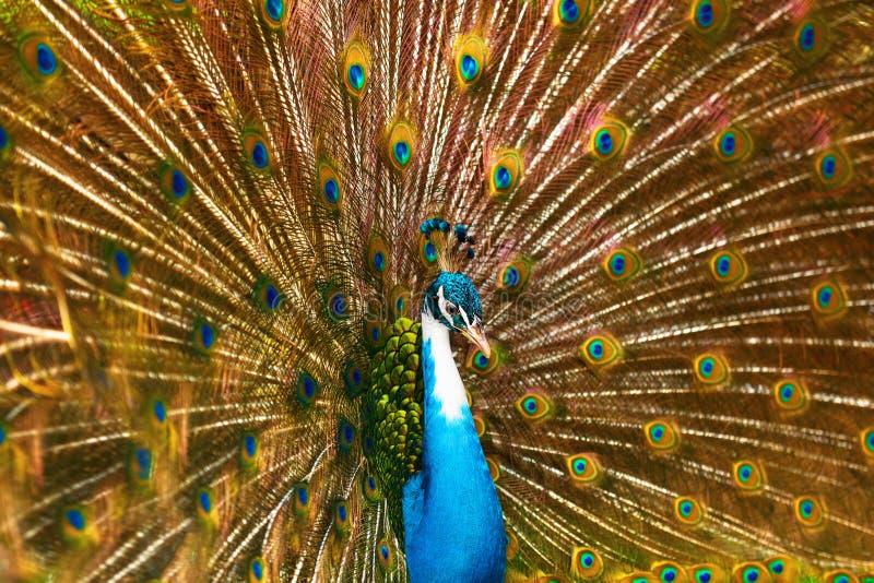 Fåglar av Thailand för fjädrar påfågel ut anhydrous Lopp T fotografering för bildbyråer