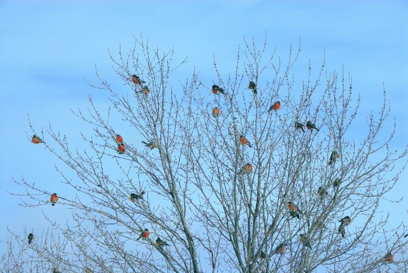 fåglar befjädrar flocken tillsammans royaltyfria foton